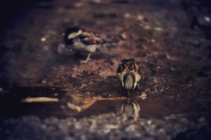 guy birds drink water . wow idk lol!!!. taken in nikond5600. checkmyinstagrampage @athmiksy Birds Bird Photography Birdof EyeEm EyeEm Selects Animal Wildlife Animals In The Wild One Animal Outdoors Nature
