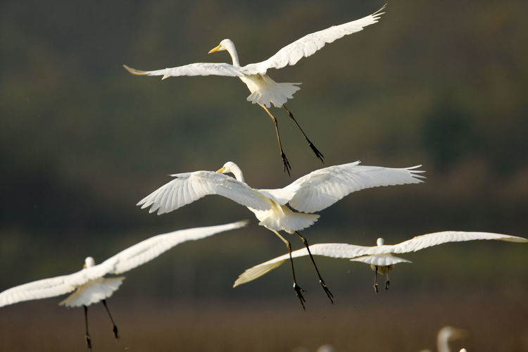 The large group of the great egret in flight, crna mlaka
