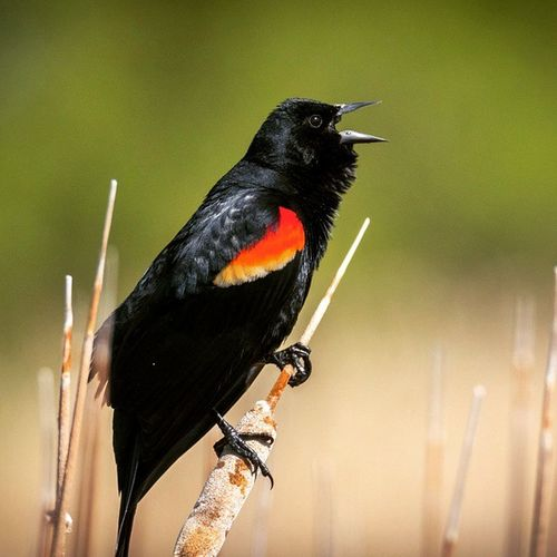 A red-winged black bird singing on a cattail. 4/21/15 Igutah Igbirds UT Birders Red Blackbird Redwingedblackbird Utahbirding Utbird