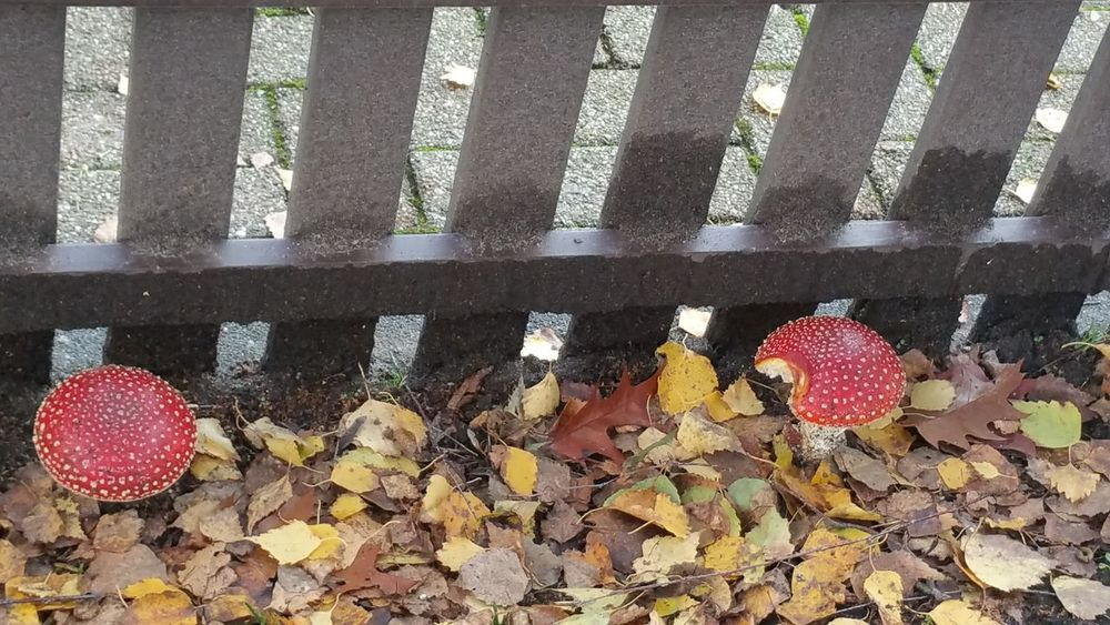 Leaf Day Plant Metal Grate Outdoors No People My Point Of View I Like Eyyem My Point O View I Have Found It Red And White Colour Mushroom Poisonous I Like This Shot On My Way Fly Agaric Mushroom Close-up