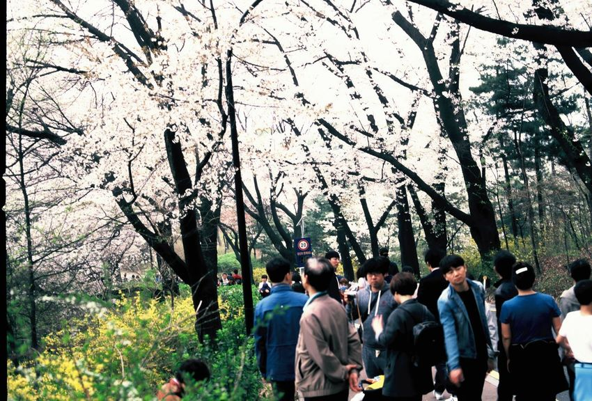 Capture the nature in spring and beautiful cherry blossom season Cherry Blossom Cherry Blossoms Film Film Camera Film Is Not Dead Film Photography Filmisnotdead Flowers Flowers,Plants & Garden Hasselblad Korea Korean Positive Film Provia Seoul Seoul City Seoul_korea Spring Spring Flowers Springtime Traveller Wanderlust