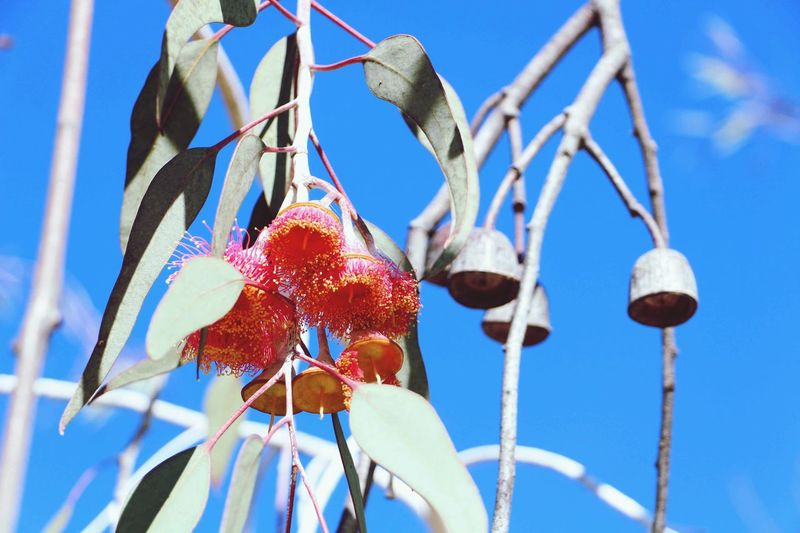 Nature On Your Doorstep Bell rings, flowers gone, new spring will not be too far away. Eucalyptus