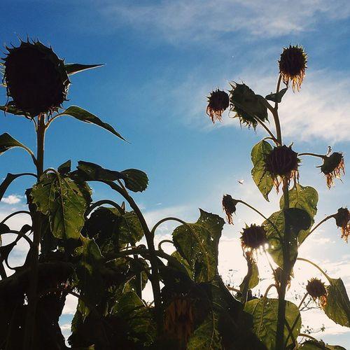 Vscocam Vscocambr Komfotografias Nature Flower Green Photography Photo Instagran Fotografeumaideia Instagranbrasil Follow Instaphotomobile Sun Clouds Sky Skyblue Sunset Girassol Girassolamarelo