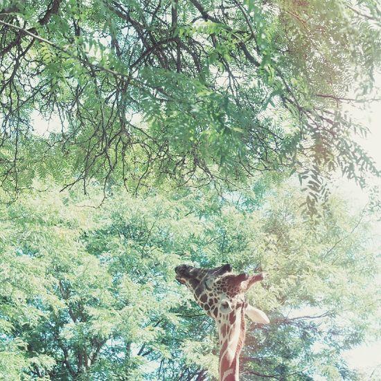 Have a wonderful week🙋 Zoo Nature Giraffe Tree オールドレンズ EyeEm Nature Lover Animal Showcase: September きりん 動物園 自然