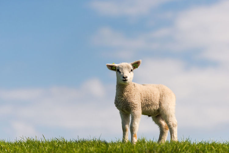 A lamb on a dike, in the grass against a blue sky with some patches of clouds. Agriculture Cool Netherlands Animal Animal Themes Day Dike Dinky Toy Domestic Domestic Animals Field Grass Herbivorous Lamb Livestock Looking At Camera Nature No People One Animal Outdoors Sheep Sky Standing Sturdy And Strong Wool