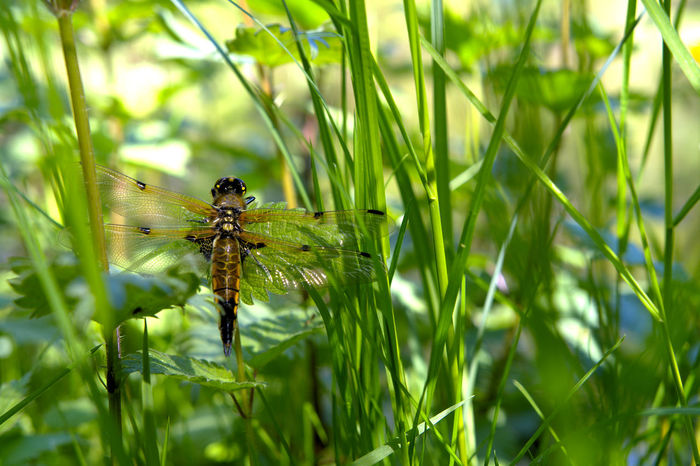 35mm Animals In The Wild Close-up Dragonfly Four-spotted Chaser Grass Green Color Insect Nature No People One Animal Plant