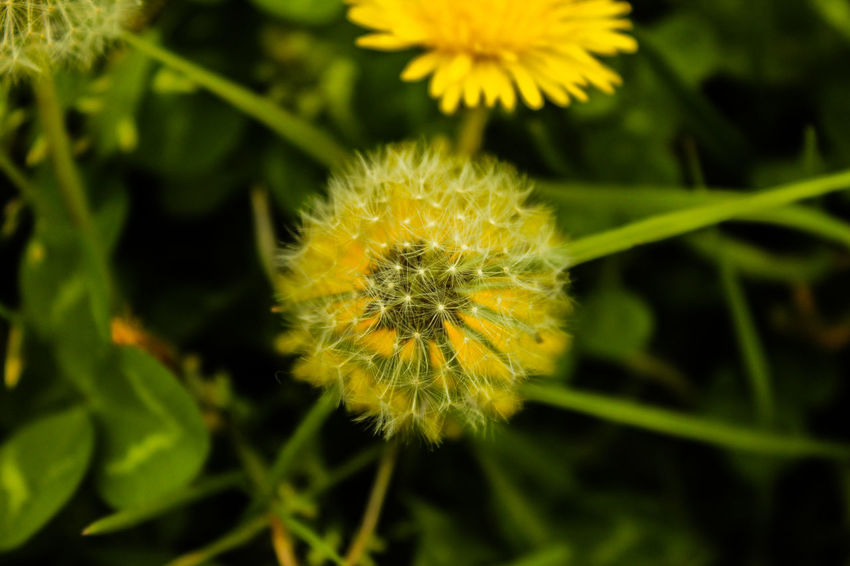 Beauty In Nature Close-up Day Diente De León Flower Flower Head Fragility Freshness Green Color Growth Nature No People Outdoors Panadero Plant Yellow