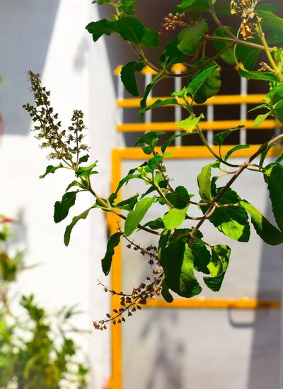 Herb Medicine Plants Medicine Herb Indian Tulsi Plant Leaf Plant Part Growth Focus On Foreground Nature No People Plant Leaf Plant Part Growth Focus On Foreground Nature No People