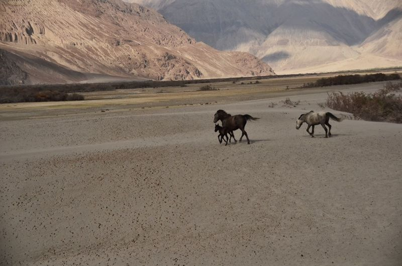 Horses on desert landscape