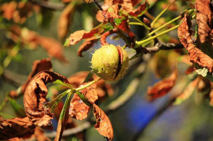 Autumn Autumn Naturephotography Beautifulnature Beautyofnature Naturebeauty Moment Capture Composition Forestphotography Artofphotography EyeEm Selects Tree Branch Fruit Hanging Leaf Close-up Plant Food And Drink
