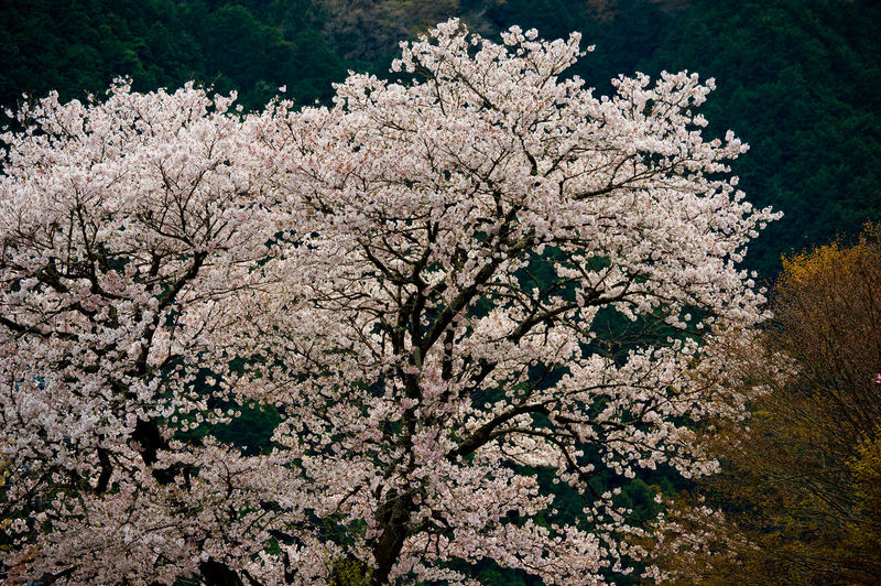 Flower Flowering Plant Freshness Plant Beauty In Nature Fragility Vulnerability  Growth Blossom Nature Tree Branch Springtime No People Cherry Blossom Outdoors Cherry Tree Day Tranquility Fruit Tree White Color Spring Tokyo Japan Sakura Sakura Blossom Sakura Trees Cherry Blossom Cherry Japan Photography Pentax