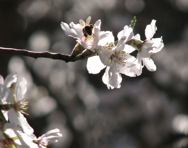 Robin Fifield - Flora Almond Blossom Almond Flowers Andalucia Spain Andalucía Nature Bee Collecting Pollen Blossom Blossom Flowers Blossom Flowers With Blossom Tree Copy Space Flower Collection Flowers Nature Photography Offset Andalucia Rural