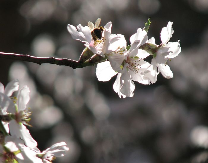 Almond Blossom Almond Flowers Andalucia Spain Andalucía Nature Bee Collecting Pollen Blossom Blossom Flowers Blossom Flowers With Blossom Tree Copy Space Flower Collection Flowers Nature Photography Offset Andalucia Rural