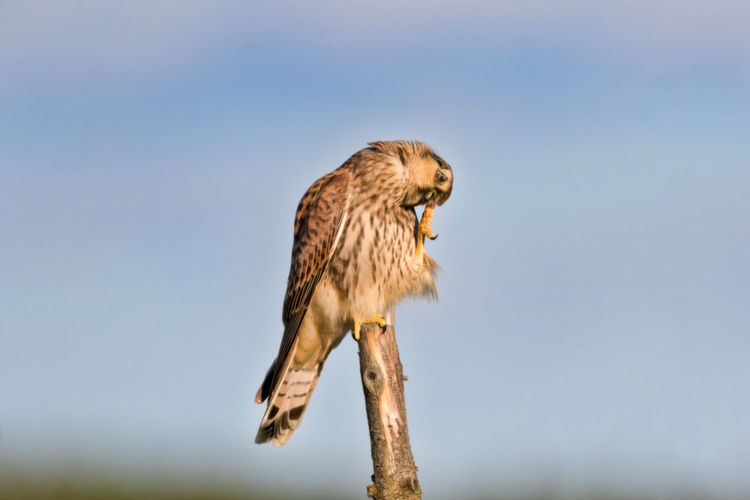 A young kestrel perched on a stick in late afternoon sun Animal Wildlife Animals In The Wild Bird Bird Of Prey Close-up Kestrel Nature One Animal Outdoors Perching Young Bird Young Kestrel