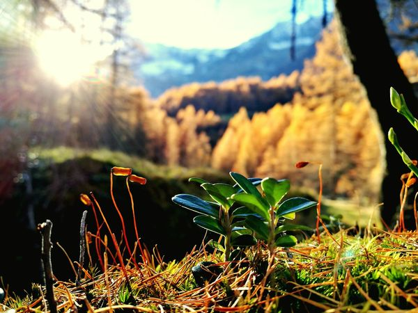 Nature Beauty In Nature Sunlight Plant Flower Outdoors Day Wood Larix Autumn Mountains