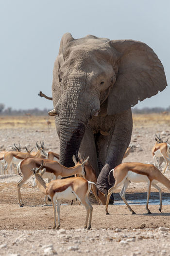 Elephant walking by antelope on landscape