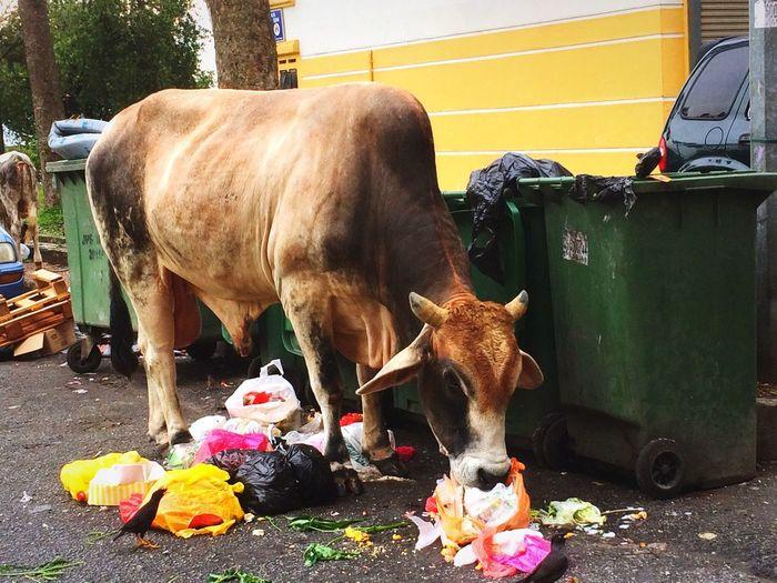 Cow Domestic