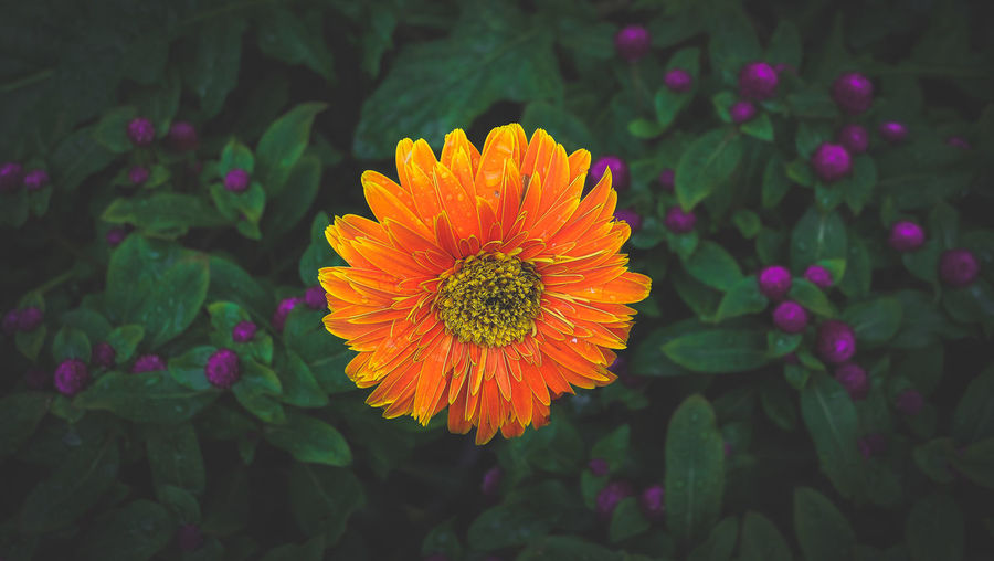 Beauty In Nature Blooming Close-up Day Flower Flower Head Fragility Freshness Green Color Growth Leaf Nature No People Outdoors Petal Plant Zinnia
