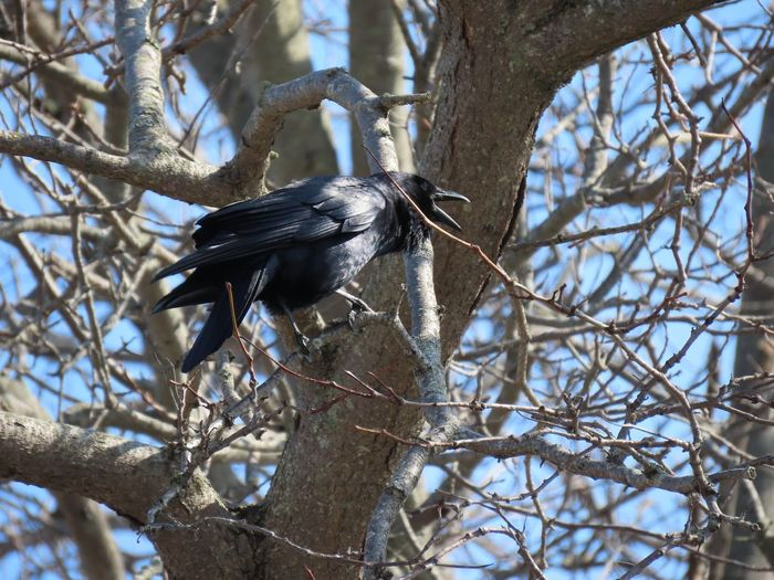 Crow crowing perched on a bare tree branch close up outdoors tree sky birds of EyeEm