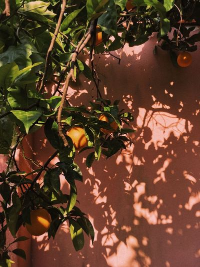 Shadow Shadows & Lights EyeEm Gallery EyeEm Nature Lover EyeEmNewHere EyeEm Best Shots Orange - Fruit Europe Italy Sicily Leaf Plant Plant Part Nature Growth Sunlight No People Day Branch High Angle View Shadow Outdoors Tree Green Color My Best Photo