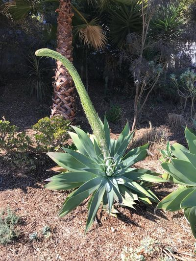 Growth Plant Nature No People Green Color Outdoors Leaf Day Field Tranquility Beauty In Nature Tree Agave Attenuata Foxtail Agave Succulent Plant Flowering Agave Asaparagaceae Agavoideae