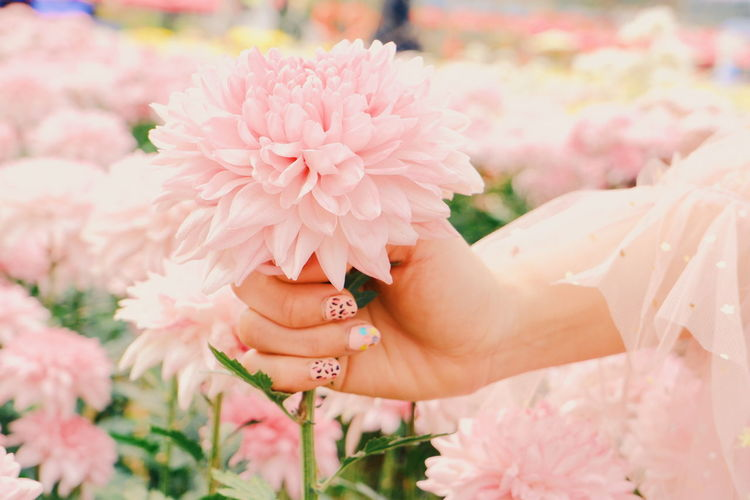 Close-up of hand holding pink flowering plant