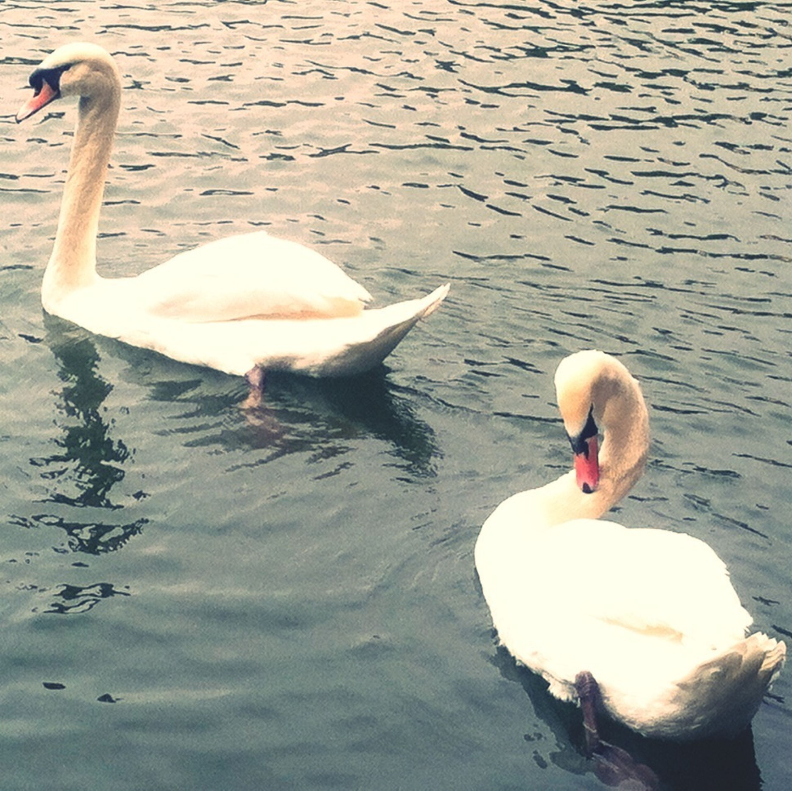 bird, swan, animal themes, water, lake, animals in the wild, wildlife, swimming, white color, reflection, water bird, duck, beak, waterfront, rippled, floating on water, nature, togetherness, two animals, outdoors