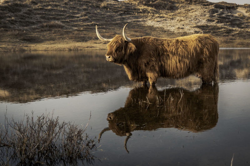 Highland Cattle Reflecting In Lake