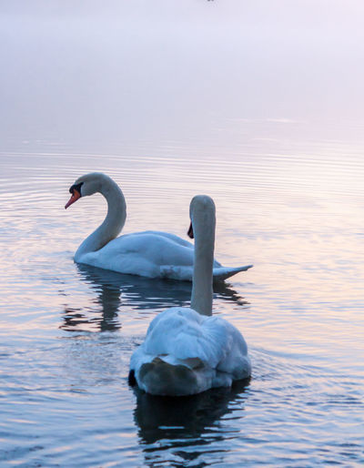 Animal Themes Animal Wildlife Animals In The Wild Beauty In Nature Bird Bords De Marne Cygne Day Lake Marne Nature No People Noisy Le Grand Outdoors Swan Swimming Water Water Bird