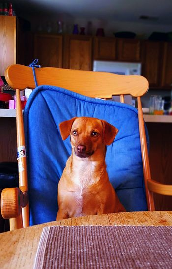 Ruby in the Rocking Chair Ruby Rockingchair Dog Brown SweetBrowndog Portrait Dogportrait Cute Puppy Puppydogeyes Unotournament Partofthefamily Pet Portraits