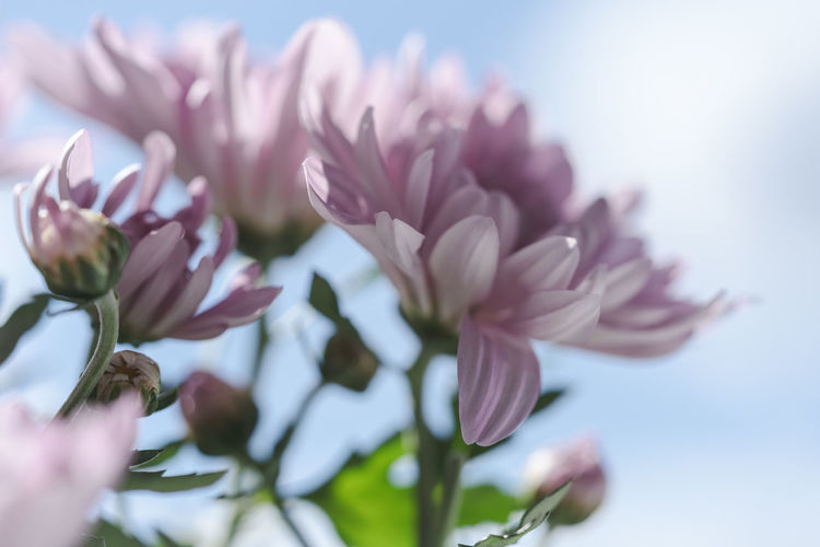 Low angle view of fresh pink flowers against sky