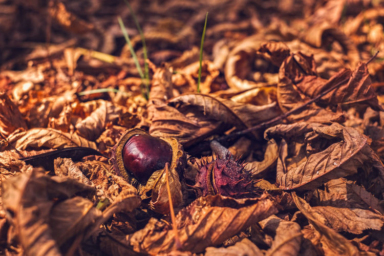 Close-Up Of Chestnuts Amidst Dry Leaves On Field