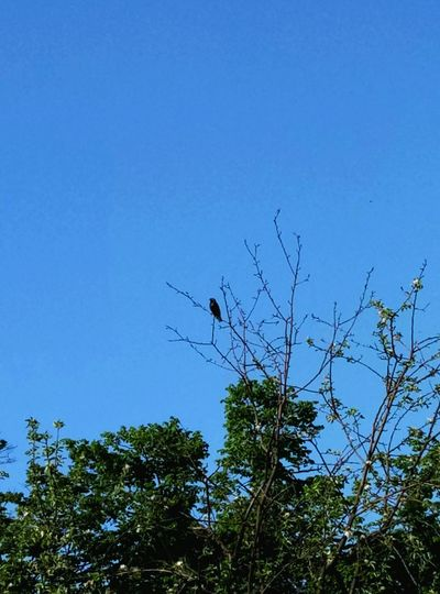 Crow EyeEmNewHere Beauty In Nature Sky No People Low Angle View Animal Themes Tree Nature Animals In The Wild Bird