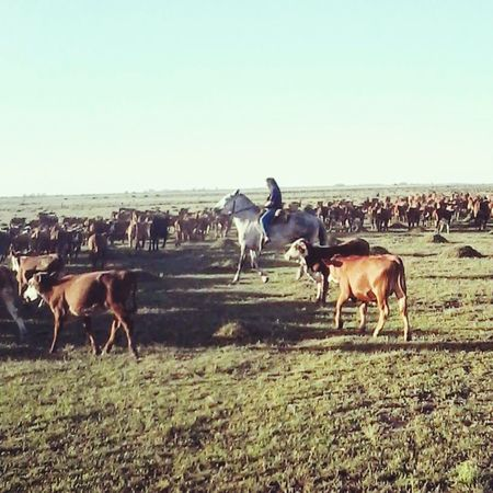 Livestock Group Of Animals Ranch Sunlight Domestic Animals Clear Sky Landscape Outdoors Large Group Of Animals Agriculture Nature Paddock Grass No People Day Mammal Sky Animal Themes