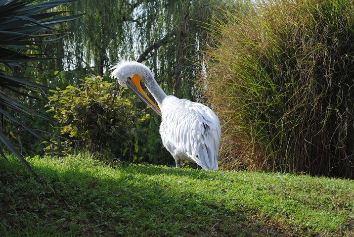 Animals In The Wild Nature Uccelli Bird No Peaple Outdoors Pellican Pellicano