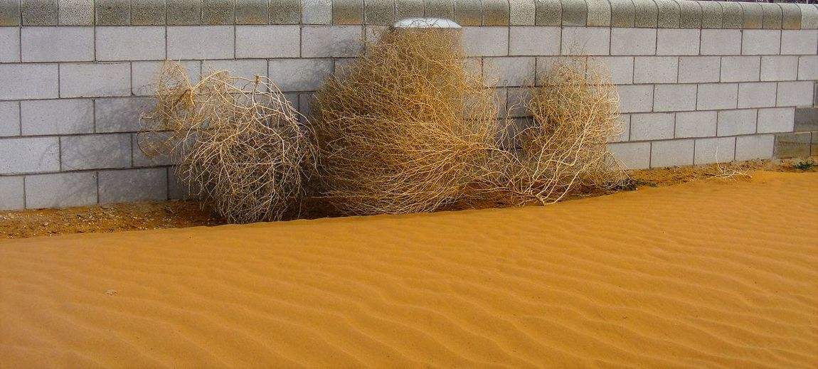 Botany Migrating Dune Sand Tumbleweed Wall Weeds Are Beautiful Too West Texas Wind Blown