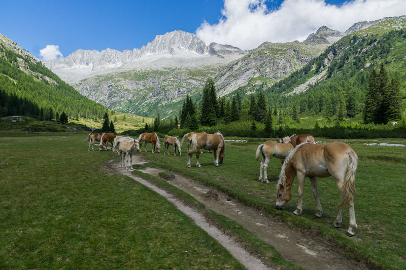 Horses Animal Themes Beauty In Nature Day Domestic Animals Grass Grazing Landscape Livestock Mammal Mountain Mountain Range Nature No People Outdoors Scenics Sky Snow Tranquil Scene Tranquility Tree