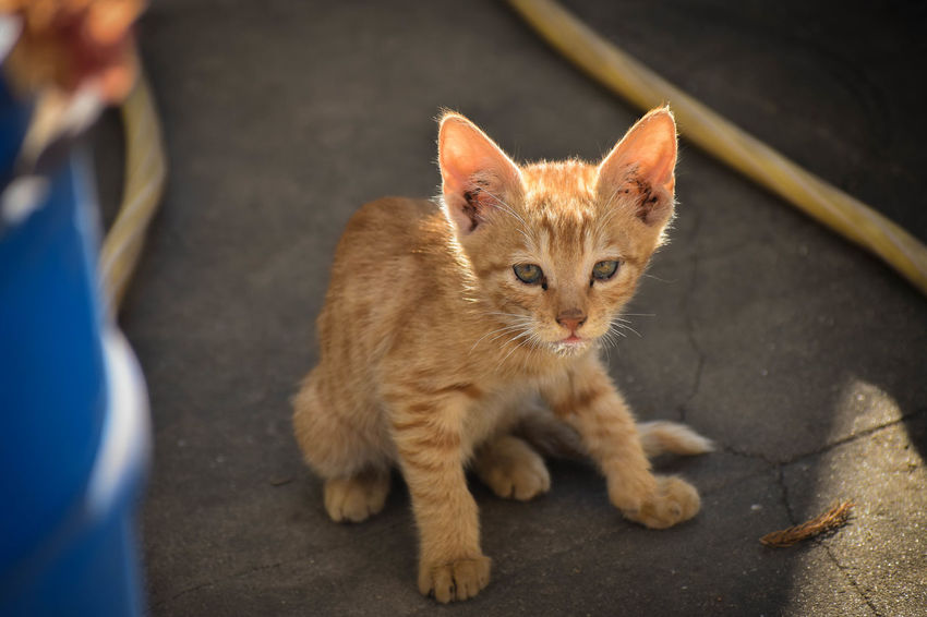 The superhero cat FLASH ⚡ Love Animal Themes Babycat Catlovers Day Domestic Animals Domestic Cat Ginger Cat Guest Mammal No People One Animal Pets Portrait Sitting Young Animal EyeEm Selects Pet Portraits