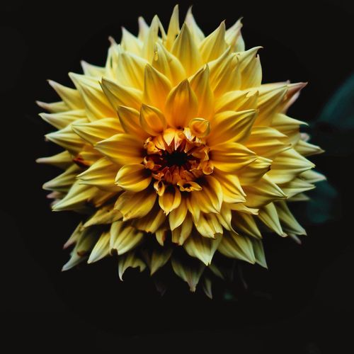 Close-up of yellow dahlia over black background
