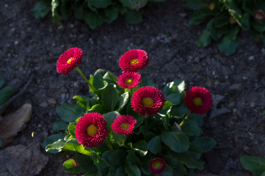 Castle of Abrantes Portugal Beauty In Nature Blooming Close-up Day Flower Flower Head Fragility Freshness Growth Leaf Nature No People Outdoors Petal Plant Red Zinnia