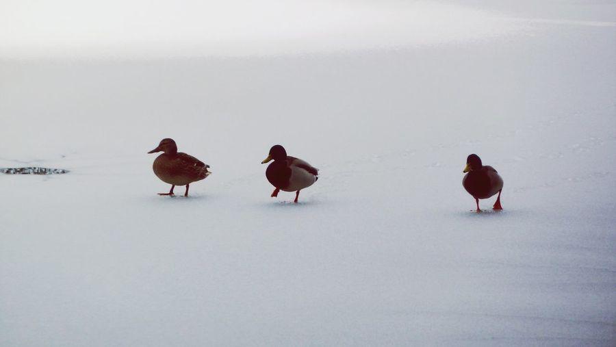 3 Ducks Nature