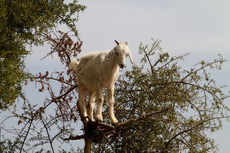 Animal Beauty In Nature Crazy Day Focus On Foreground Goat Growth Highway Low Angle View Mammal Morroco Nature No People Outdoors Portrait Sky Tranquility Tree