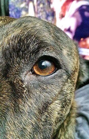 Eyedog Dog❤ Dogstagram DogLove Dogs Life Zeus❤❤❤ Dontshopadopt Mylife❤