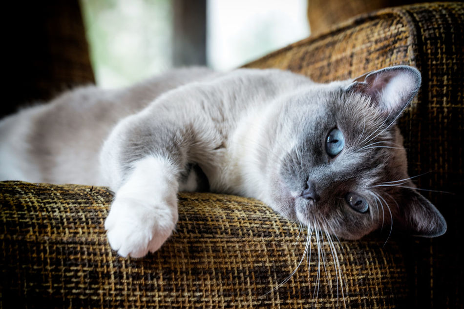animal themes Animal Themes Close-up Day Domestic Animals Domestic Cat Feline Indoors  Lying Down Mammal No People One Animal Pets Whisker