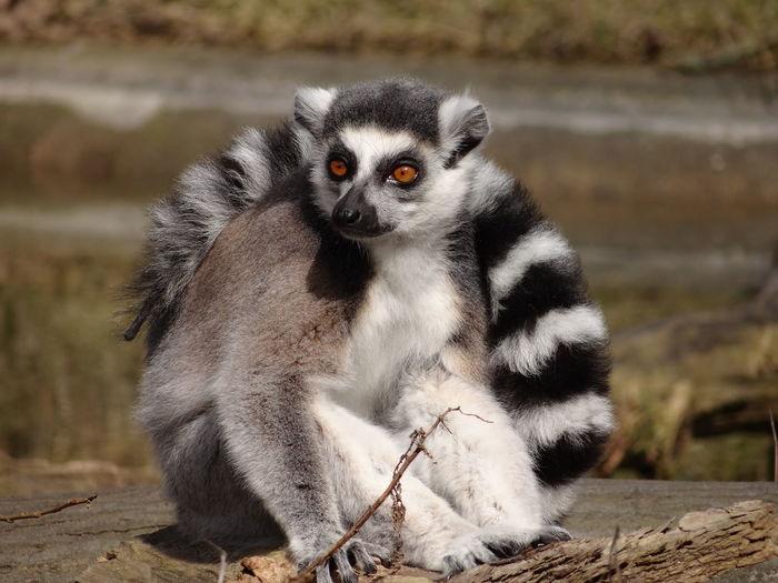 Close-Up Of Lemur Sitting Down
