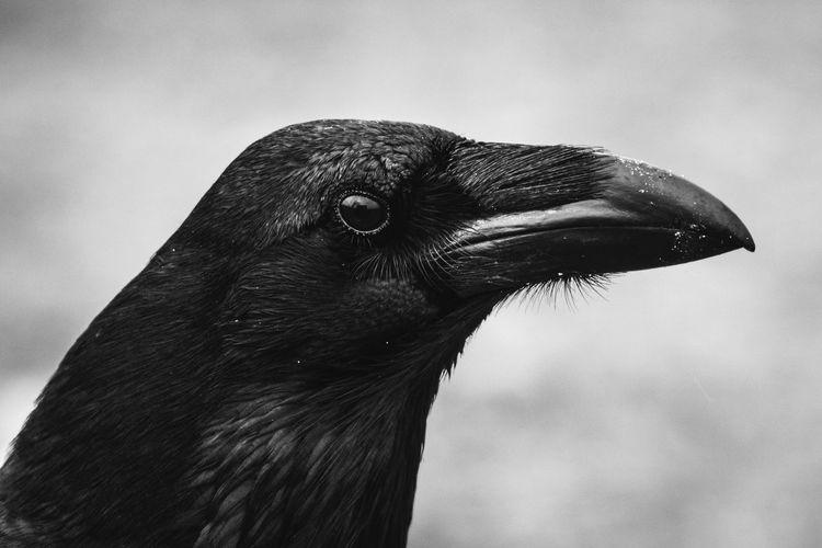 Common Raven (Corvus corax) portrait. One Animal Animal Animal Themes Bird Vertebrate Animals In The Wild Close-up Focus On Foreground Animal Wildlife Day No People Nature Raven - Bird Outdoors