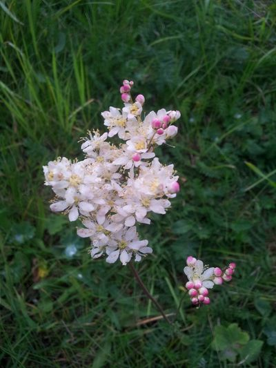 Filipendula vulgaris Brudbröd ♡ Flowers,Plants & Garden Nature_collection