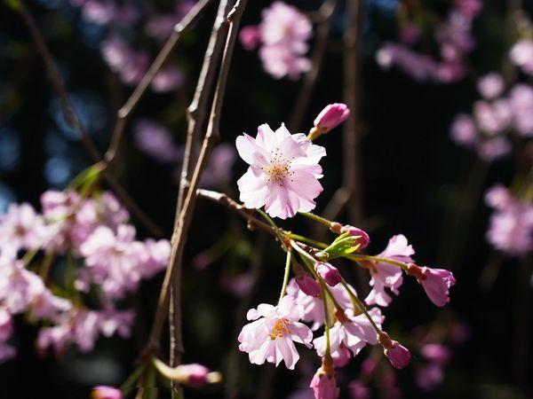 Sakura Japan Japonism Flower Head Flower Tree Branch Springtime Pink Color Petal Blossom Botany Close-up