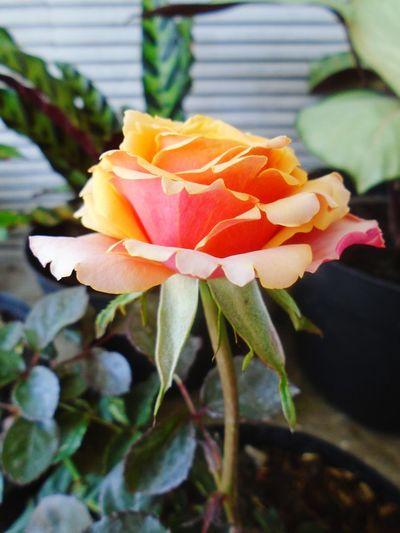 Beauty In Nature Flower Outdoors Freshness Flower Head Plant Nature Close-up No People Petal Day Growth Fragility Leaf EyeEm Best Shots Flowerrose EyeEm Flower EyeEm Gallery First Eyeem Photo