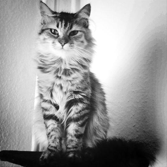 Love Cat Black & White TheBoss